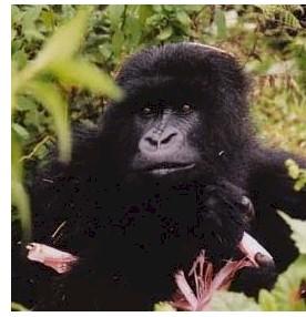 fossey_gorilla