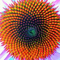 fibonacci_coneflower